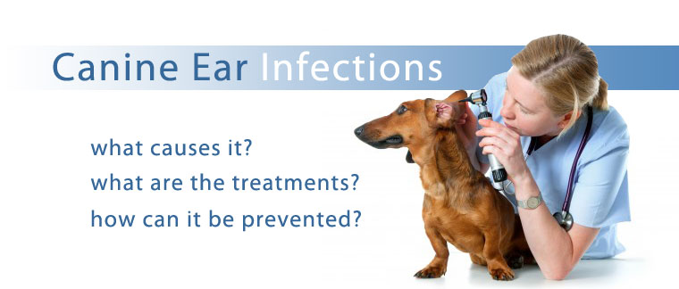 ear infections in pets and how to cure it