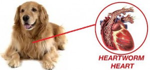 Heartworms Diseases in Pets