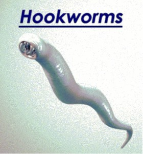 Hookworms Parasites in Pets