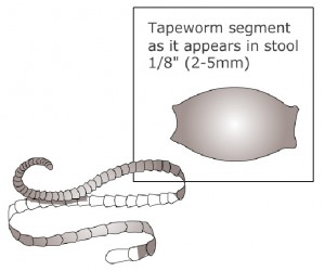 Tapeworm Infection in Pets