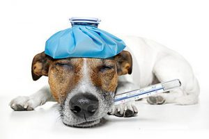 Dog Has Fever Due To Infestation