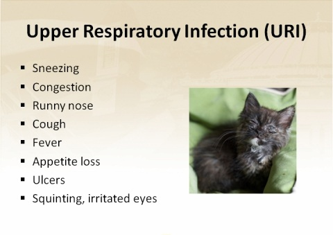 Symptoms Of Cat Upper Respiratory Infection