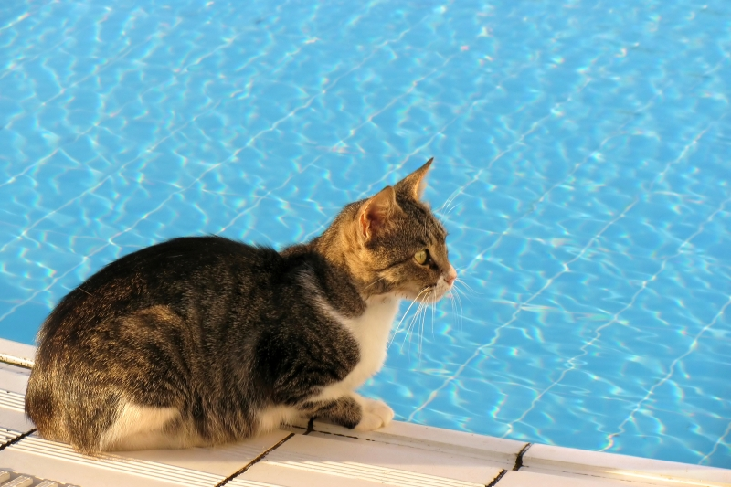 Cat Near Poolside - 7 Possible Dangers That Linger Around For Outdoor Loving Cats - Budget Pet World Blog