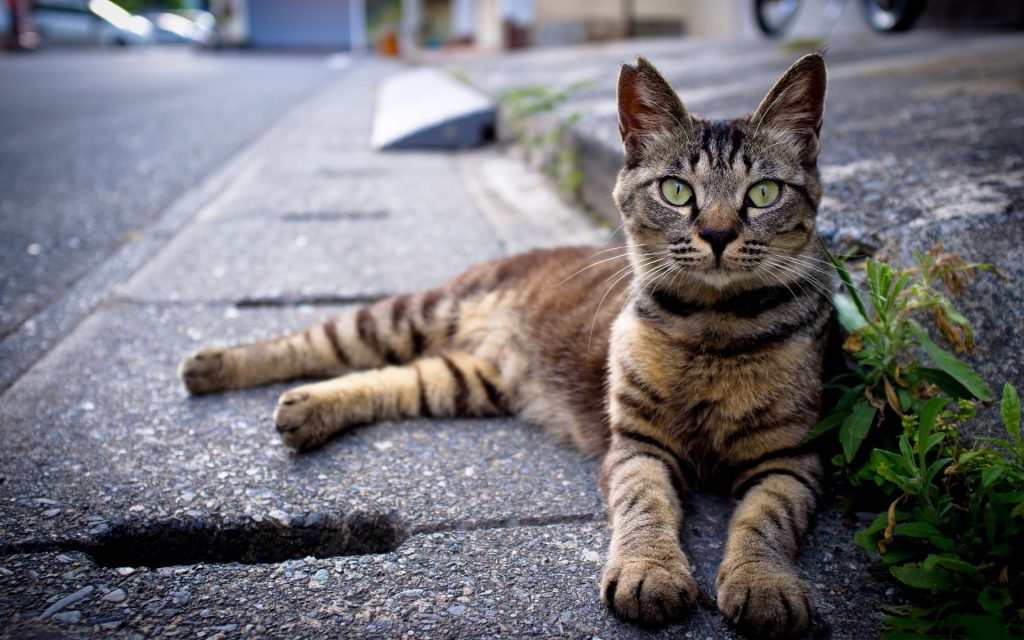 Cat Sidewalk - 7 Possible Dangers That Linger Around For Outdoor Loving Cats - Budget Pet World Blog
