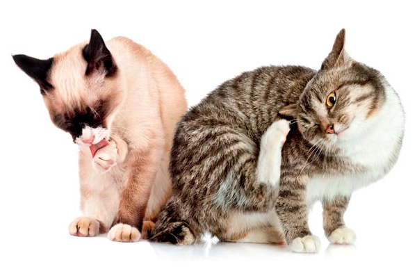 Flea and tick on cats - 7 Possible Dangers That Linger Around For Outdoor Loving Cats - Budget Pet World Blog