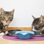 Obesity In Felines: Myth And Facts Behind It